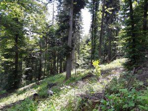 Medium low presence of spruce trees before the disturbance