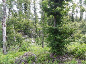 Medium-high presence of spruce trees before disturbance